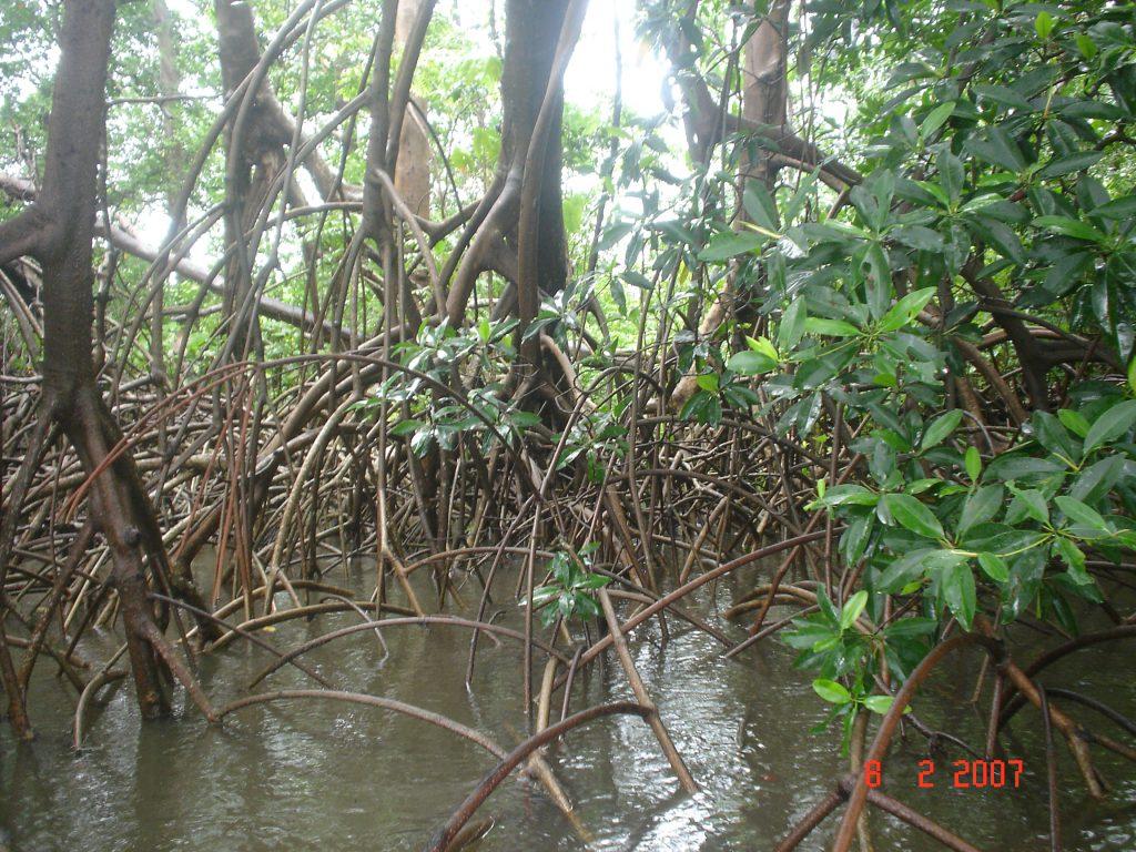 Manguezal no Rio Preguiças